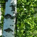 Die Birke - eine alte Heilpflanze