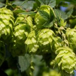 Hopfen - macht nicht nur im Bier eine gute Figur