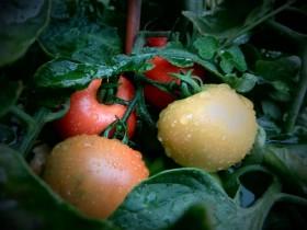Rot und gesund: Tomaten wachsen sogar auf dem Balkon